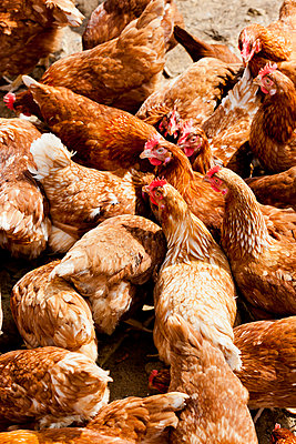 Hens - p248m932977 by BY