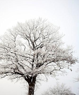 Verschneite Baeume im Nebel - p627m672274 by Kirsten Nijhof