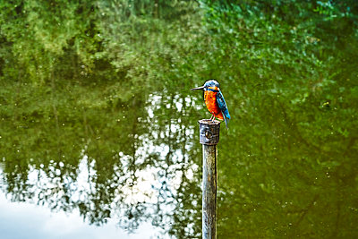 Kingfisher from metal on a pole by a lake - p1312m2196181 by Axel Killian