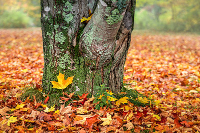 Close-up of autumn coloured maple leaves on the ground at the base of a tree, White Mountain National Forest; New England, United States of America  - p442m1523963 by Jenna Szerlag