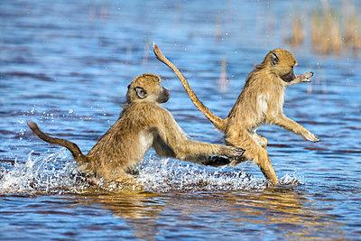 Botswana, Hunda Island, Okavango Delta. Young Chacma baboons wading and jumping through shallow water. - p652m1505123 by Nigel Pavitt