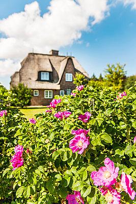Blühende Heckenrosen, Keitum, Sylt, Schleswig-Holstein, Deutschland - p1316m1160993 von Arnt Haug