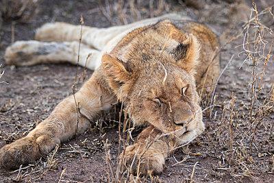 puppy lion sleeping - p1691m2288574 by Roberto Berdini Bokeh
