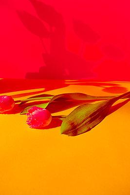 Tulpen werfen Schatten an die Wand - p432m1539816 von mia takahara