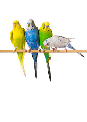Budgie Birds On A Perch - p44210846f by Corey Hochachka