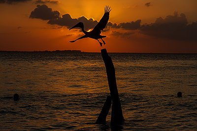 Pelican at sunset close to Isla Mujueres - p758m1154861 by L. Ajtay