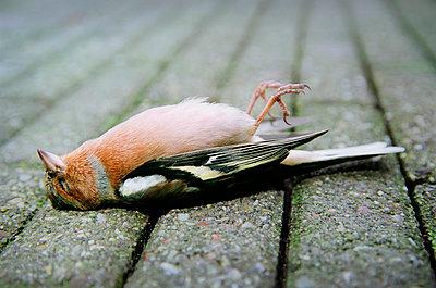 Dead chaffinch - p1132m925568 by Mischa Keijser