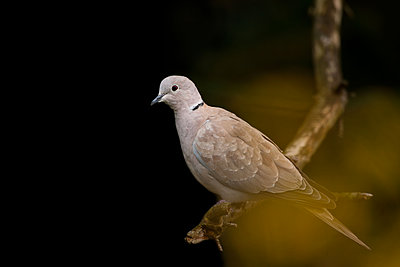 Collared dove - p533m2044337 by Böhm Monika