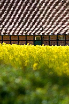 Blühendes Rapsfeld mit Scheune - p7390225 von Baertels