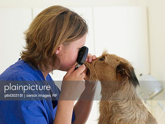 Hund wird untersucht  - p6430315f von senior images RF