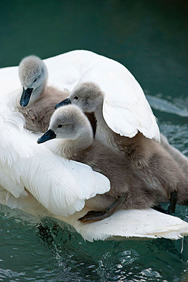 Swans - p533m758626 by Böhm Monika