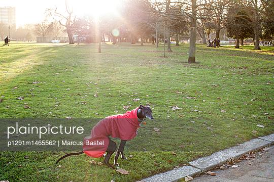 Dog with coat - p1291m1465562 by Marcus Bastel