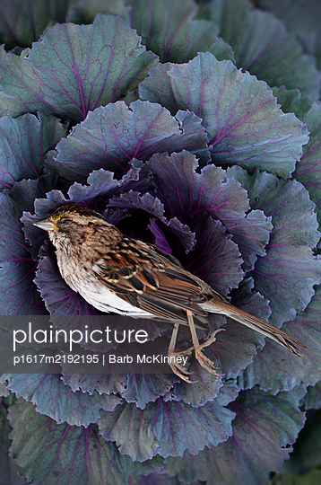 Dead Bird Laying on Cabbage Plant - p1617m2192195 by Barb McKinney