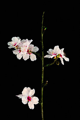 Almond twigs - p1088m1050170 by Martin Benner