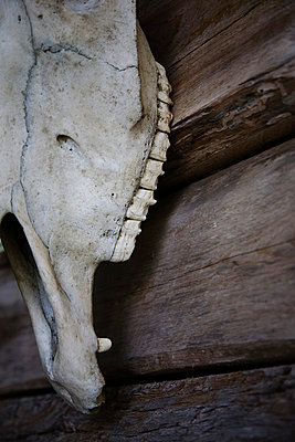Skull of an animal - p6280424 by Franco Cozzo
