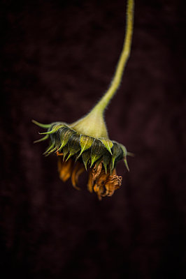 Sunflower drying upside down against a dark background - p1047m1094333 by Sally Mundy