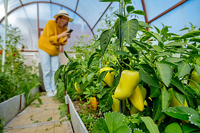 Woman photographing vegetable plant while standing at greenhouse - p300m2221198 by Konstantin Trubavin