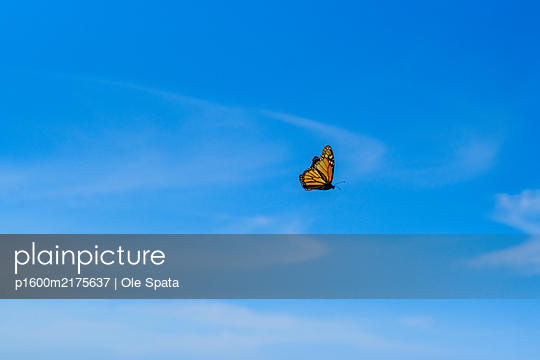 Porugal, Madeira, Monarch butterfly - p1600m2175637 by Ole Spata