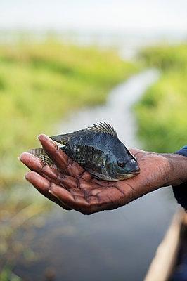 Africa, Uganda, Man holding fish in hand - p1167m2283476 by Maria Schiffer