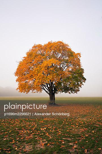 Single tree with autumn colours - p1696m2296621 by Alexander Schönberg