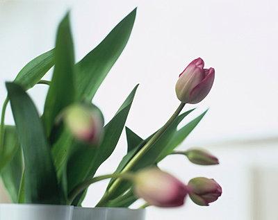Tulpen - p2683191 von Uwe Gärtner