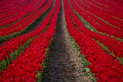 Germany, rows of a red tulips - p300m1025262f by Anke Scheibe