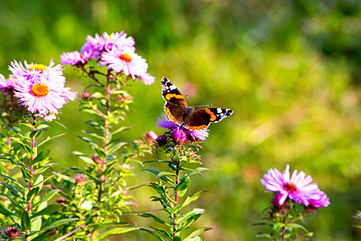 Peacock butterfly sitting on blossom of pink aster - p300m2062212 by Nabiha Dahhan