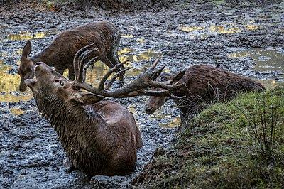 Stirring deer - p401m1465924 by Frank Baquet