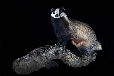 Padded badger in studio - p8520014 by Astrid Schulz