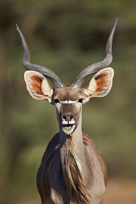 Greater kudu  buck with his mouth open, Kgalagadi Transfrontier Park encompassing the former Kalahari Gemsbok National Park, South Africa, Africa - p871m1056795f by James Hager