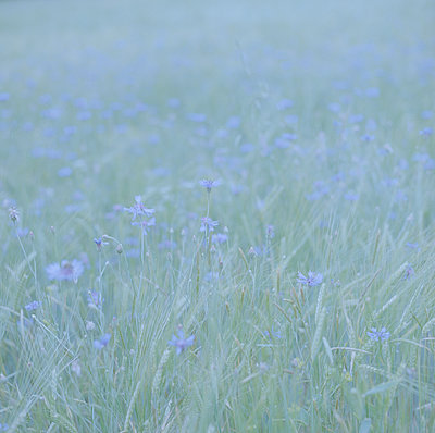 Cornflowers overexposed  - p1468m1558917 by Philippe Leroux
