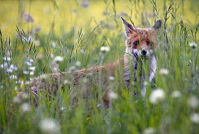 Fuchs - p26813559 von Rudi Sebastian