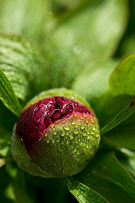 Dewdrops on bud of red peony, Paeonia - p300m1140818 by JLPfeifer
