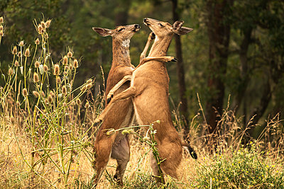 White-tailed deer (Odocoileus virginianus) fighting in the Cascade Siskiyou National Monument; Ashland, Oregon, United States of America - p442m2036953 by David Hoffmann Photography