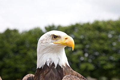Sea eagle close-up - p7620011 by Bodo Krug