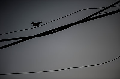 Bird on electric wire - p1007m1144374 by Tilby Vattard