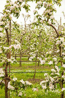 Apple trees - p902m1021362 by Mölleken