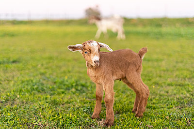 Portrait of young goat on a meadow - p300m2079745 by Eloisa Ramos