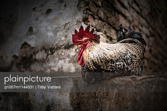 Big Cock with red crest - p1007m1144331 by Tilby Vattard