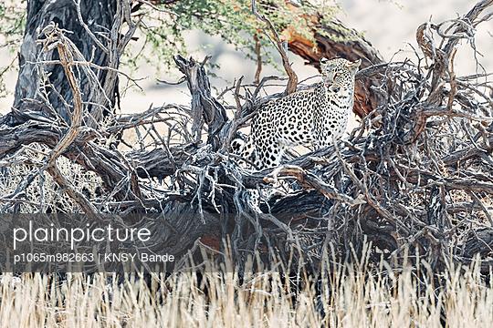 Ein Leopard in einem Baum, Kalahari, Südafrika - p1065m982663 von KNSY Bande