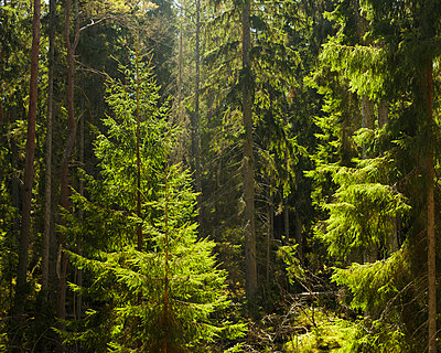 Sweden, Smaland, Hinkaryd Nature reserve, evergreen tree in sunlight - p352m1349334 by Gustaf Emanuelsson