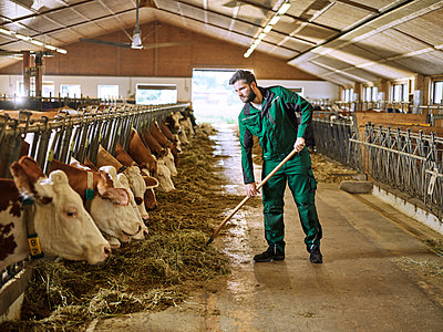 Farmer feeding cows in stable on a farm - p300m1567824 by Christian Vorhofer