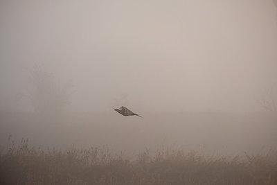 Pheasant in flight - p739m2039110 by Baertels