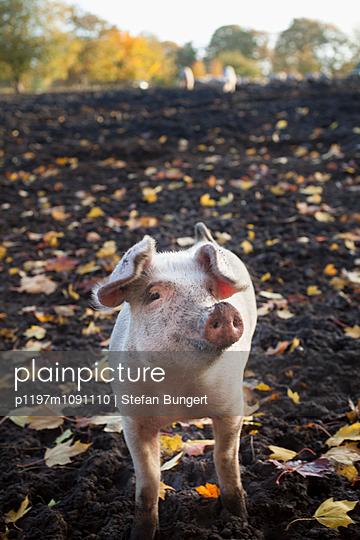 Schwein im Herbst - p1197m1091110 von Stefan Bungert