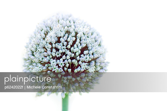 Allium - p6242022f by Michele Constantini