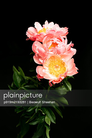 Peony flower bouquet in front of black background - p919m2193281 by Beowulf Sheehan