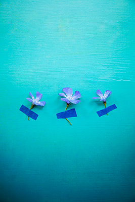 Three Little Flowers Taped to Background - p1248m2109261 by miguel sobreira