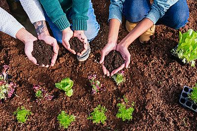 Family planting lettuce seedlings in vegetable garden, showing hands, full of soil - p300m2070525 von Gemma Ferrando