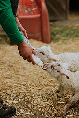 Feeding of goatlings - p1184m1222705 by brabanski