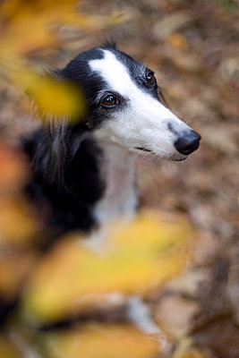 Saluki dog - p1152m966134 by Susan Fox